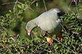 African green pigeon, Treron calvus, Kruger main road near Punda Maria turn-off, Kruger National Park, South Africa (26120090382).jpg