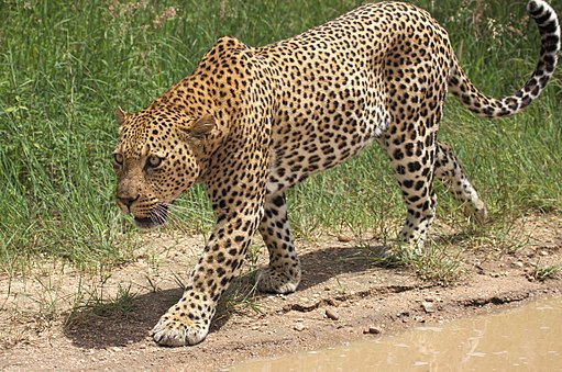 African leopard, Panthera pardus pardus, near Lake Panic, Kruger National Park, South Africa (19448370440)