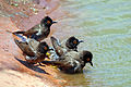 African red-eyed bulbuls (Pycnonotus nigricans) 1.jpg