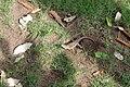 Agama femelle ponte d'œufs 03.jpg