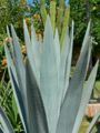 Agave tequilana leaves.jpg