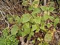 Ageratina adenophora (Barlovento) 02 ies.jpg