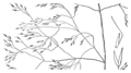 Agrostis howellii drawing.png
