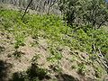 Ailanthus-altissima-growing-as-weed-in-Australia.jpg