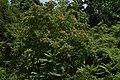 Ailanthus altissima98.jpg