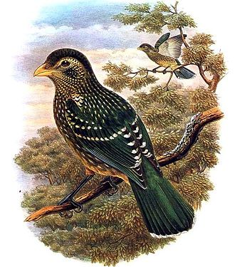 Green catbird - Illustration by Richard Bowdler Sharpe