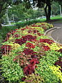 All Kinds of Coleus - Hyde Park, Sydney - New South Wales, Australia.jpg