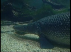 File:Alligator gar fin maneuvers.webmhd.webm