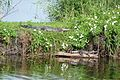 Alligators in Lake Jesup, Oviedo, Florida..jpg