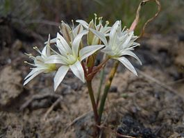 Allium nevadense (4748914533).jpg