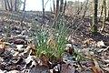 Allium oleraceum kz01.jpg