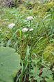 Allium roseum 1331.jpg