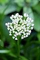 Allium senescens. Sierui. Bloemknoppen.JPG