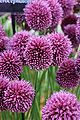 Allium sphaerocephalon 1.jpg