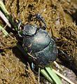 Allogymnopleurus thalassinus 000869-1.jpg