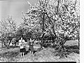 Almond Blossom Trees - Two Women Holding Branches(GN08989).jpg