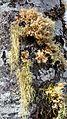Alnus rubra (Red alder) with moss and lichen - Flickr - brewbooks (1).jpg
