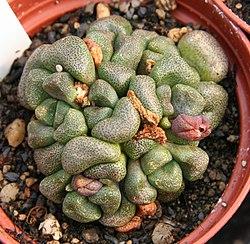 Aloinopsis schoonesii.jpg