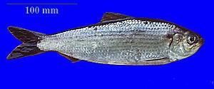 Alewife - Image: Alosa pseudoharengus