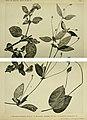 Alternanthera malmeana, Alternanthera micrantha, Gomphrena glutinosa.jpg