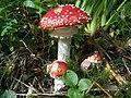 Amanita muscaria T15.jpg