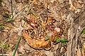 Amanita rubescens in Aveyron (3).jpg