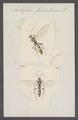 Amblyteles - Print - Iconographia Zoologica - Special Collections University of Amsterdam - UBAINV0274 046 06 0123.tif