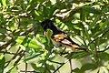 American Redstart (male) Hooks Wood High Island TX 2018-04-10 08-59-33 (41544981992).jpg