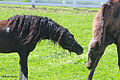 American Shetland Gelding playing with Kuma the Akhal Teke (6929067622).jpg