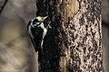 American Three-toed Woodpecker Signal Burn Gila NF NM 2017-10-18 09-02-54 (39073900321).jpg