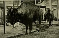 American bison group, mounted in 1889 by chief taxidermist Jenness Richardson.jpg