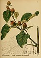 American medicinal plants (Plate 92) (6025417379).jpg