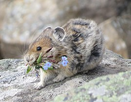 American pika (ochotona princeps) with a mouthful of flowers.jpg