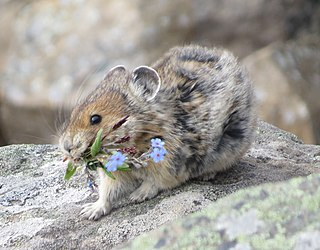 Pika genus of mammals in the family Ochotonidae of the order Lagomorpha