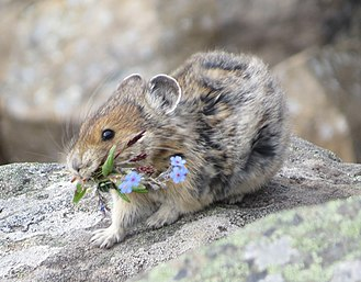 American pika - American pika carrying forget-me-not flowers and grass to build its nest in Cawridge, Alberta, Canada