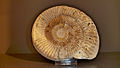 Ammonite jura poland.JPG