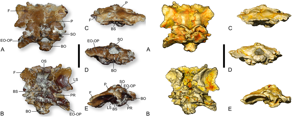 Ampelosaurus braincase
