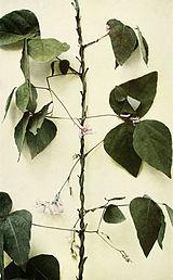 Amphicarpaea bracteata WFNY-118A.jpg