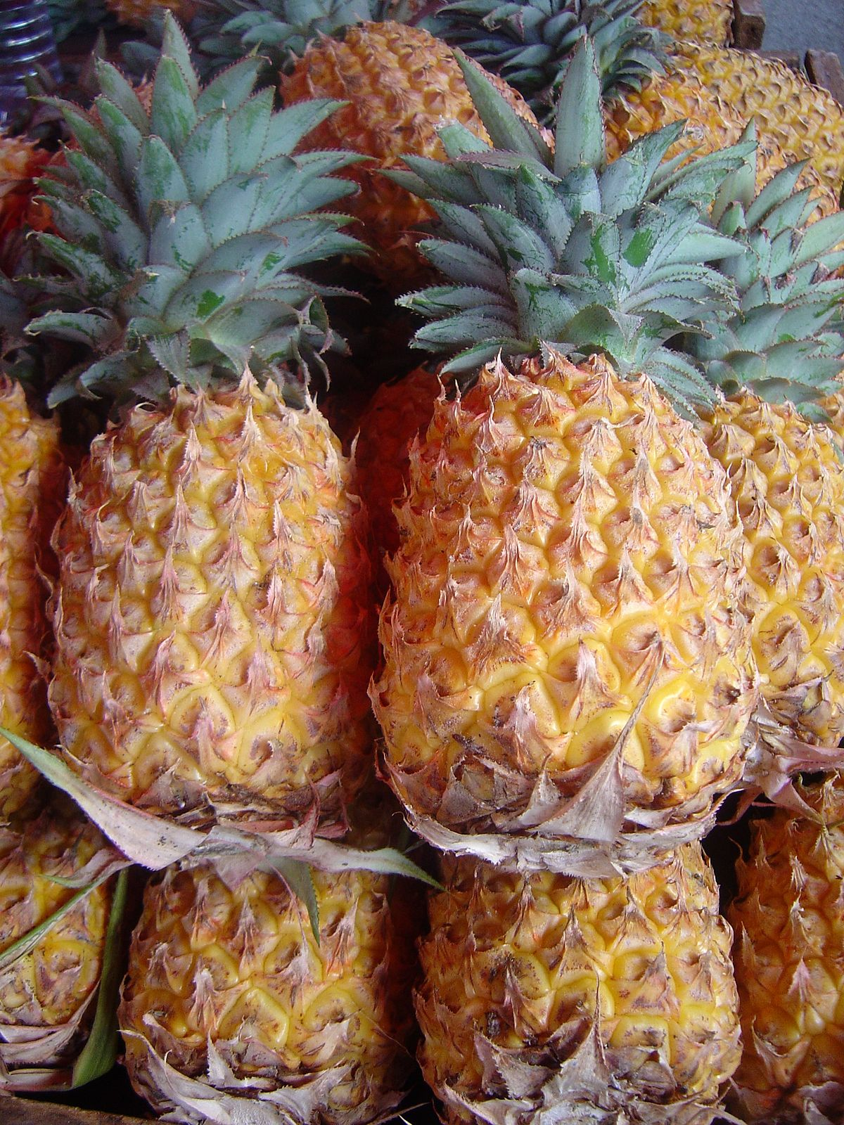 Ananas comosus dsc07804.jpg