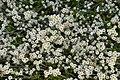 Anaphalioides hookeri in Dunedin Botanic Garden.jpg