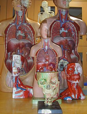 Anatomical moulages.JPG