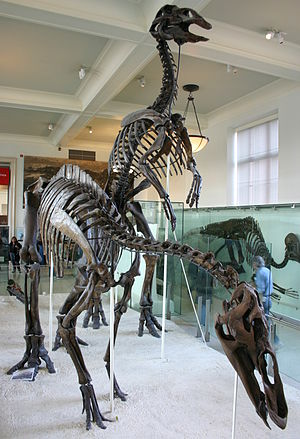 Edmontosaurus annectens - Skeletons (AMNH 5730, right, and AMNH 5886, left), first mounted in the American Museum of Natural History in 1907.