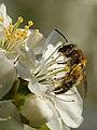 Andrena (female) - Prunus cerasus - Keila.jpg