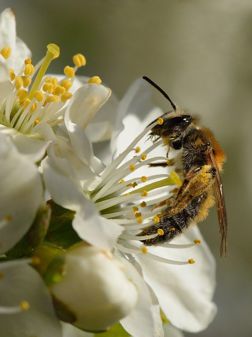 Andrena (female) - Prunus cerasus - Keila