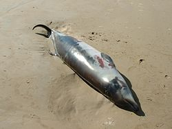 Andrews' Beaked Whale (neonate, beachwashed).JPG