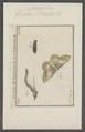 Angerona - Print - Iconographia Zoologica - Special Collections University of Amsterdam - UBAINV0274 058 01 0048.tif
