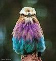 Angry Little Bird (34147288515).jpg