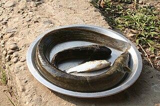 <i>Anguilla bengalensis</i> species of fish