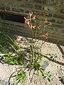 Anigozanthos rufus 'Red Kangaroo Paw' (Haemodoraceae) plant.JPG