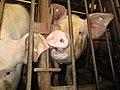Animal Cruelty Iowa Select Farms IS 2011-05-28 25 (5841329882).jpg